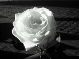 White Rose by Inlusionist