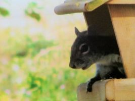 Squirrel, in a bird feeder by PedroThePie