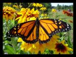 Monarch 1 by foreverlong926