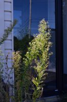30 Shiawassee Plant and Reflection by coffeenoir