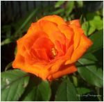 Orange Rose by mylivingphotography