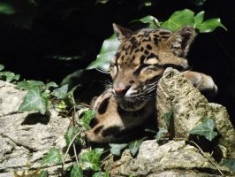 2014 - Clouded leopard 38 by Lena-Panthera