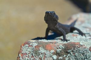 Black Girdled Lizard by fartprincess