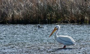 Pelican at Rocky Ford by Circusdog