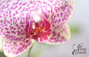 Orchid - Close-up by PassionAndTheCamera