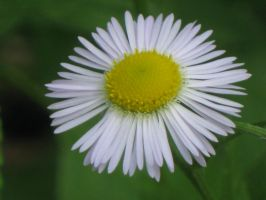 021 Daisy Fleabane by crazygardener