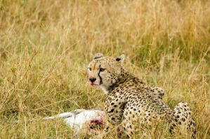 Cheetah 1 by turlough