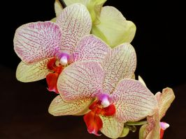 Orchidee 1 by Martina-WW