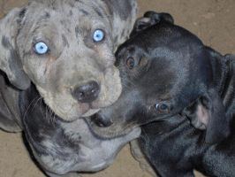 Brothers by pitbulllady