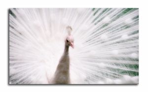 another of white Peacock by malindi
