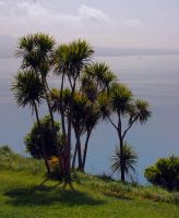 Cabbage Trees by carterr