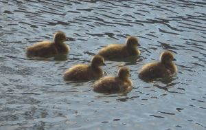 Stock - Ducklings IV by rockgem