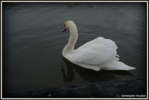 Doncaster Swan by squareprismish