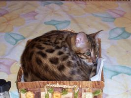 Bengal Cat by WhyteMyst