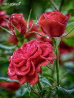 Covered in Rain Drops HDR by mjohanson
