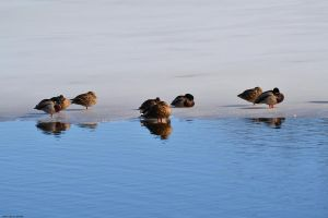 Ducks On Ice by WickedOwl514