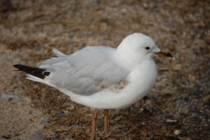 Juvenile Silver Gull by Psittacidae13