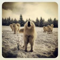 Instagram samoyed by Pawkeye
