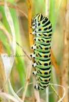 Swallowtail Caterpillar II by Swordtemper