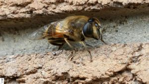Eristalis tenax by The-Dude-L-Bug