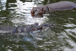 Hippos by KovPet