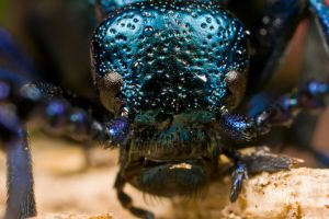 Oil Beetle at 3x by dalantech