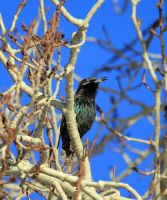 First Starling this year. by sgt-slaughter