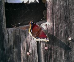Butterfly posing on a barn by capturedpoetry