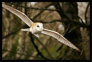 Barn Owl in Flight by La-Vita-a-Bella