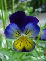 Pansy 1 by Eriseite