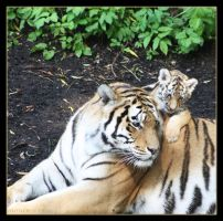 Amur Tigers 8 by Globaludodesign