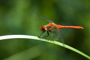 Red dragonfly by Grofica