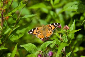 Painted Lady by duncan-blues