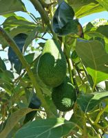 KRETA - Avocado Tree at the Botanical Garden by cactusmumkate