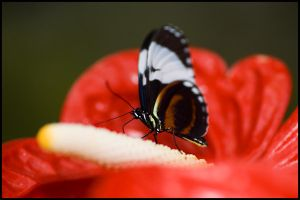 Butterfly Series III by LaCaroratcha