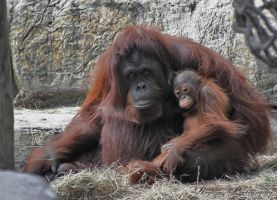 Orangutan Mom and Baby by RaylenesPhotography