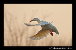 White Duck II by andy-j-s