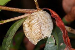 Pray Mantis Egg Case by Simon-Hunt