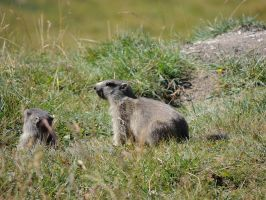 Young marmots by MountainsMarmot