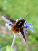 Bombyliidae by iriscup
