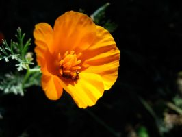 California Poppy by mrhollow