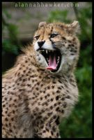 Cheetah 06 by Alannah-Hawker