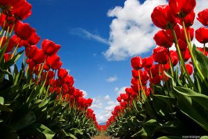 skagit valley tulip festival by stranj
