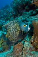 French Angel Fish by DevilDiver