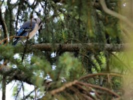 Blue Jay 5 by Noble-Kenshi