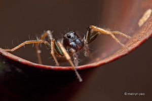 Wolf spider by melvynyeo