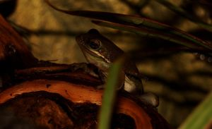 pic-a-day 080211 b -- Frog by pricecw-stock
