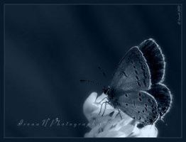 Gossamer Winged by Insect-Lovers-Club
