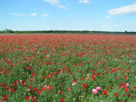 Poppy Fields 3 by StewartSteve