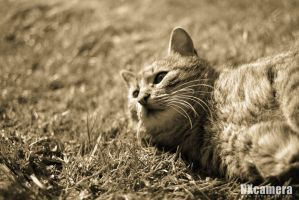 Rapt Cat by NXcamera